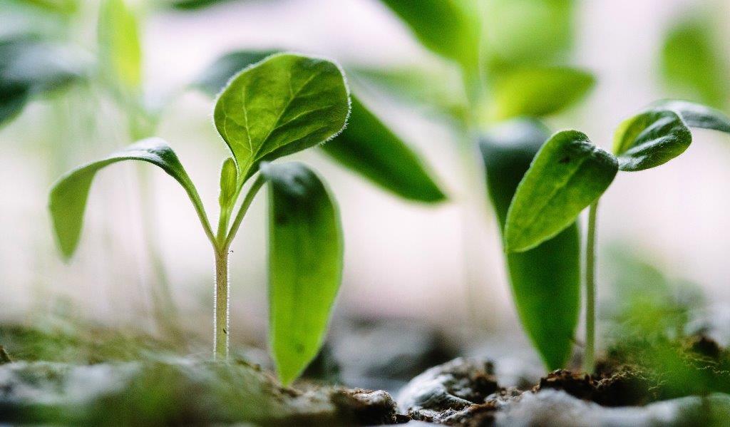 Uzgoj presadnica i početak sjetve